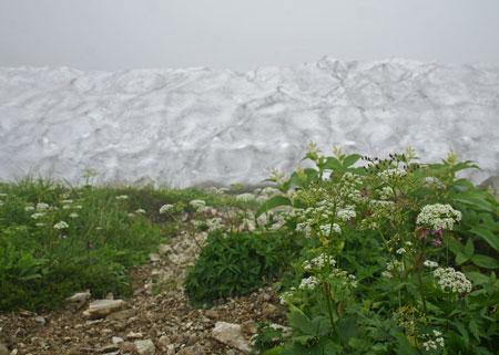 雪渓とセリ科の花.jpg